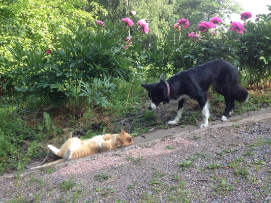 Suuri kissapaimenkoira, jonka paimennettava ei oikein natsaa Suurta Paimentajaa väistävän laumaeläimen rooliin