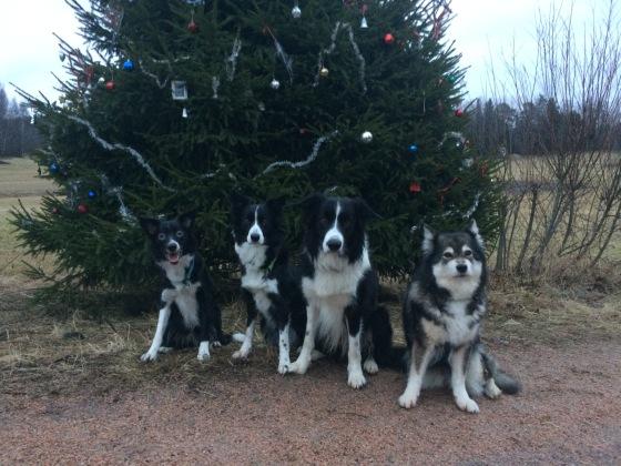 Ojangon perinteinen joulukuusi lenkkitien varressa